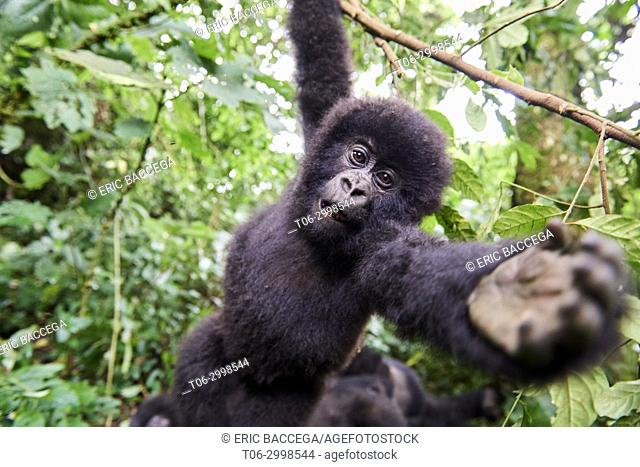 Curious baby mountain gorilla (Gorilla beringei beringei) from the Rugendo group hanging from branch and wants to grab at camera, Virunga National Park