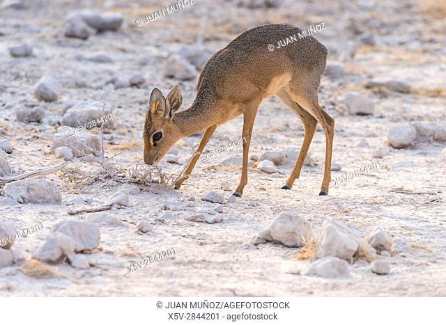 Damara dik-dik (Madoqua kirkii damarensis). Etosha National Park. Namibia. Africa