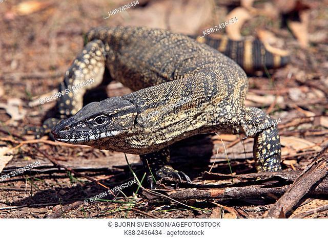 Heath Goanna. Kangaroo Island, South Australia