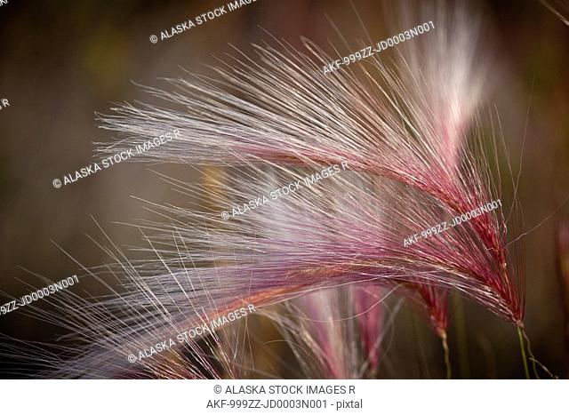 Macro of pink grass in the Maclaren River Valley, Southcentral Alaska, Autumn