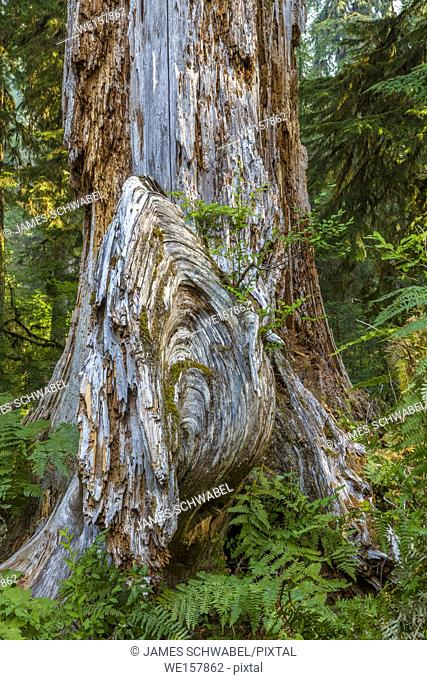 Old tree on the Hall of Mosses Trail in the Hoh Rain Forest iin Olypmic National Park in Washington State in the United States