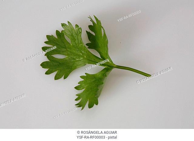 Parsley, leaf, spice, Belém, Pará, Brazil