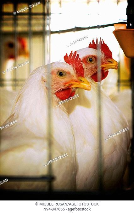 Farm hens in Pablo, Municipality of Bahía Honda. Cuba