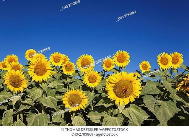 Sunflower (Helianthus annuus) - Cultivations in the Campiña Cordobesa, the fertile rural area south of the town of Cordoba. In June