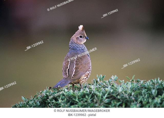 Scaled Quail (Callipepla squamata), adult, Starr County, Rio Grande Valley, Texas, USA