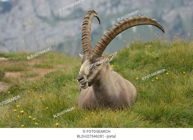 bernese, alpensteinbock, berne, animal, alpine meadow, canton, alpenfauna