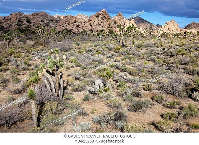 Joshua Tree (Yucca brevifolia), Mojave Desert, Joshua Tree National Park, California, USA