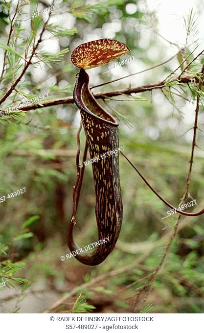 Botany Nepenthes carnivorous plants. Taman Negara National park, rainforest travel South East Asia. Malaysia