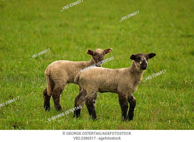 Lamb, Linn County, Oregon