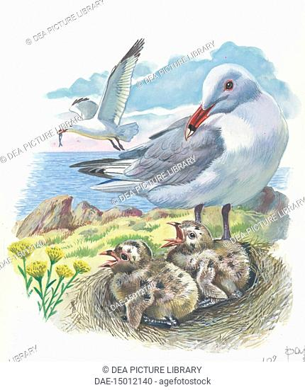 Audouin's Gull (Ichthyaetus or Larus audouinii) with chicks in the nest, illustration