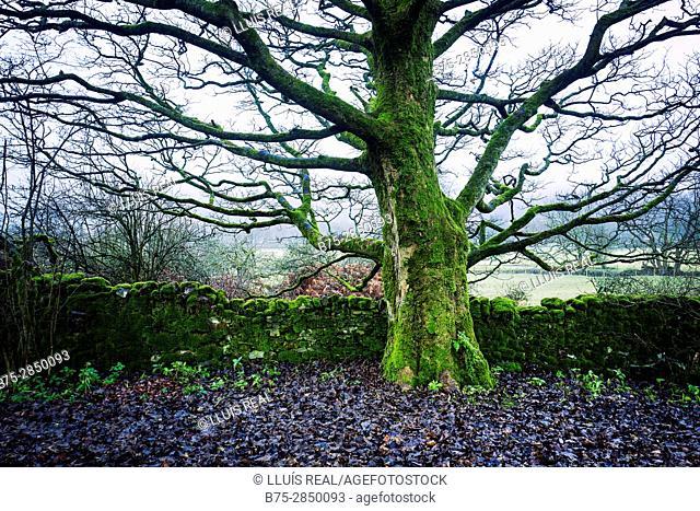 Primer plano de un árbol con una pared de piedras. Cray, Buckden, North Yorkshire, Yorkshire Dales, UK, Europa