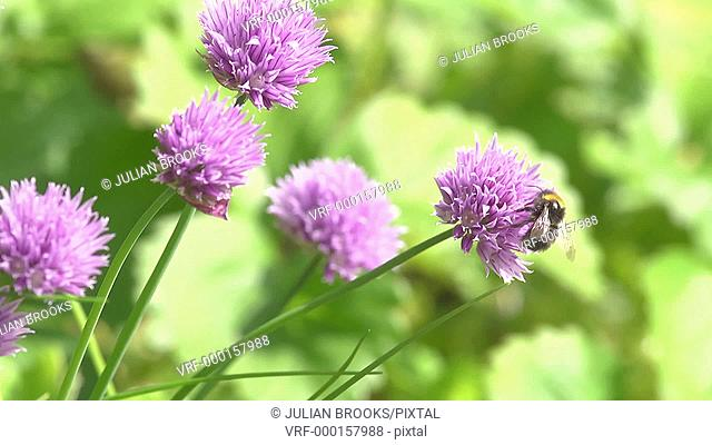 Bumble Bee visiting chive flowers