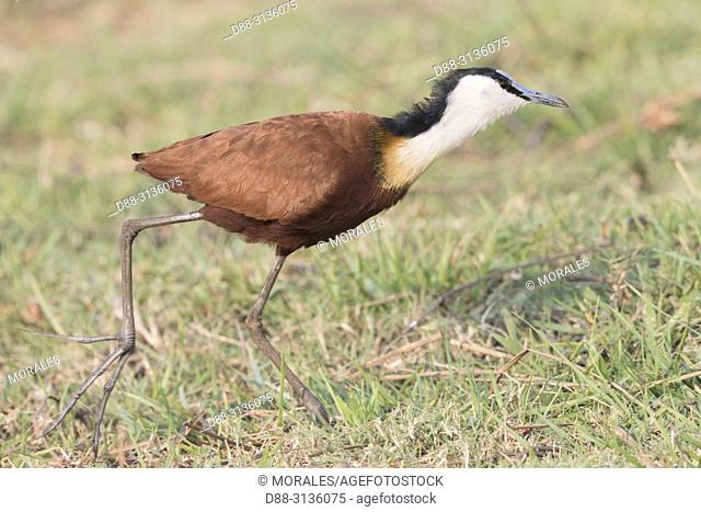 Africa, Southern Africa, Bostwana, Chobe i National Park, Chobe river, African Jacana (Actophilornis africanus)