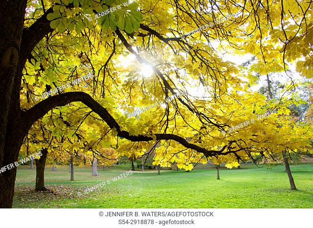 A horse chestnut tree in the fall in Spokane, Washington, USA. Aesculus hippocastanum