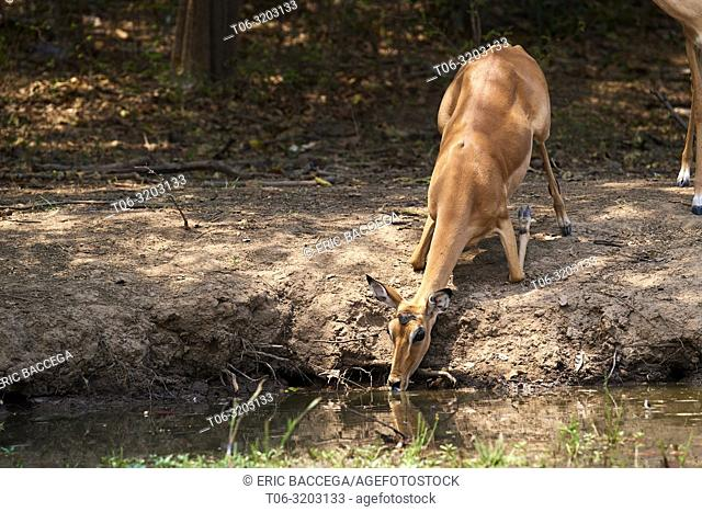 Impala drinking at waterhole (Aepyceros melampus), South Luangwa National Park, Zambia