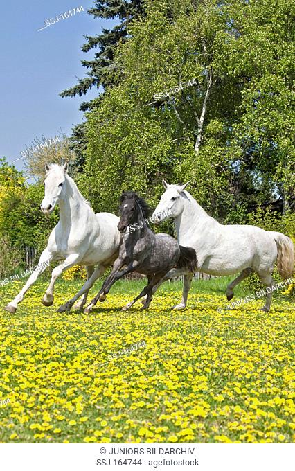 two Lipizzan horses and foal on meadow
