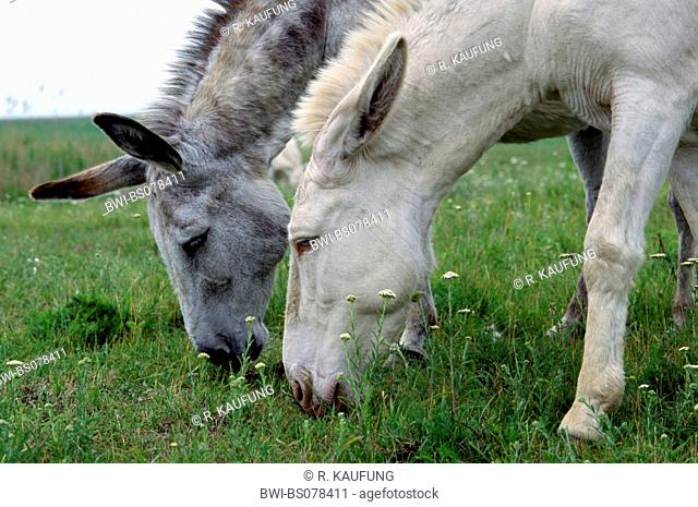 domestic donkey (Equus asinus f. asinus), two white donkeys searching for food at pasture, Austria