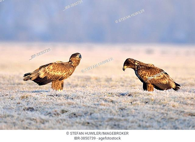 Two White-tailed Eagles (Haliaeetus albicilla), on a meadow with hoarfrost, Gostynin, Poland