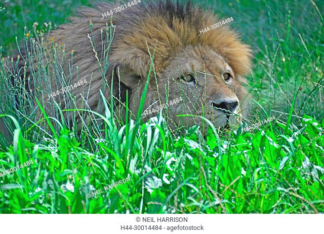 Male lion hiding in the grass, observing its prey and preparing for an ambush