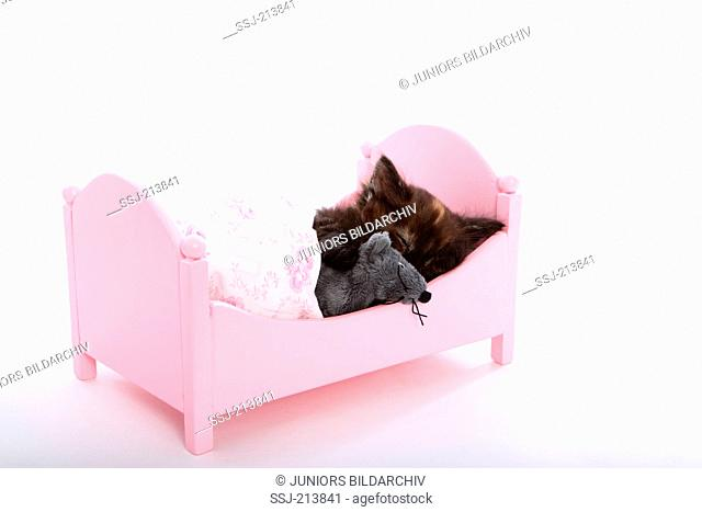Norwegian Forest Cat. Kitten (6 weeks old) with toy mouse sleeping in a pink dolls bed. Studio picture against a white background. Germany