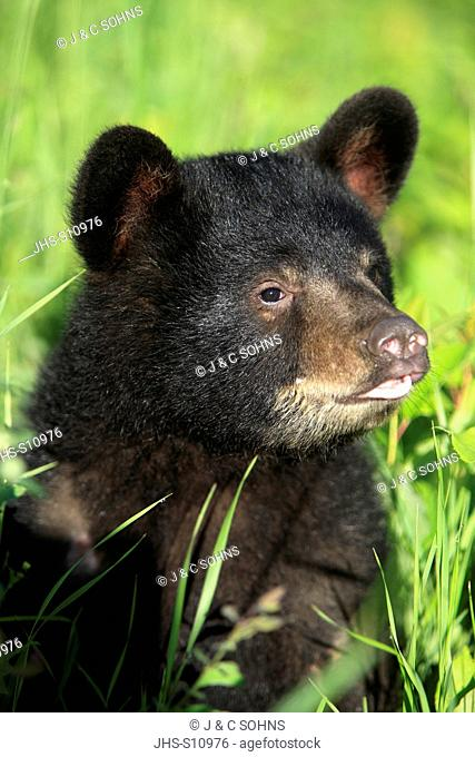 Black Bear, Ursus americanus, Montana, USA, North America, young in meadow portrait