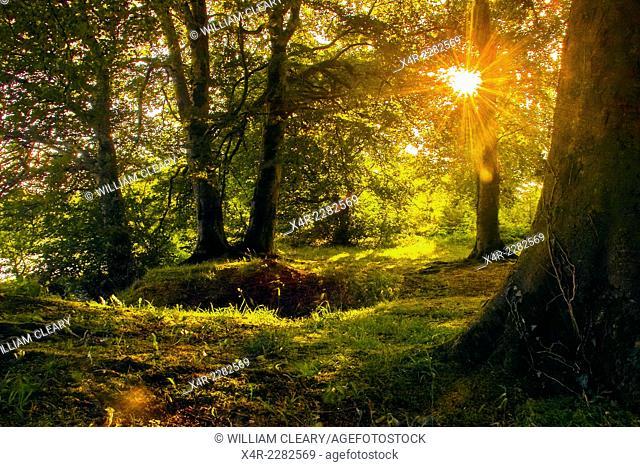 Sunlight through the trees. Beechwood near Mullingar, County Westmeath, Ireland