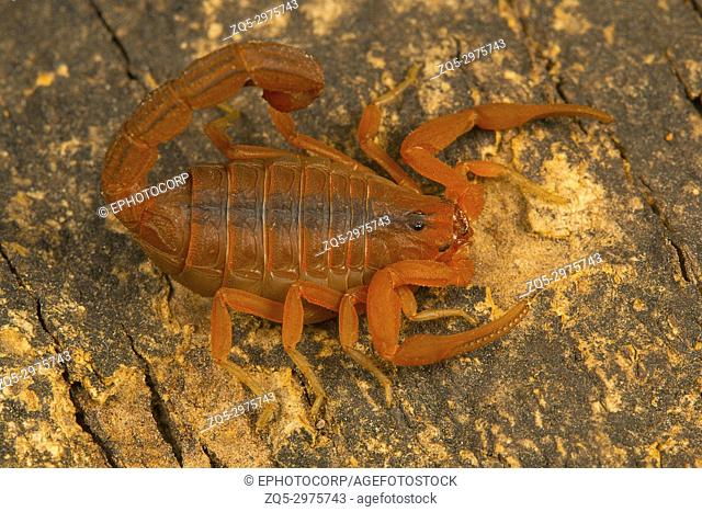 Fat tailed scorpion, Hottentotta rugiscutis from type locality, Chengalpettu, Tamil Nadu, India