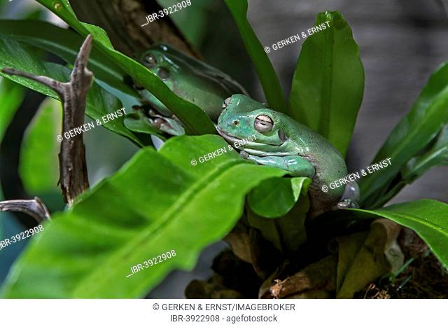 Australian Green Tree Frog (Litoria caerulea), Sweden