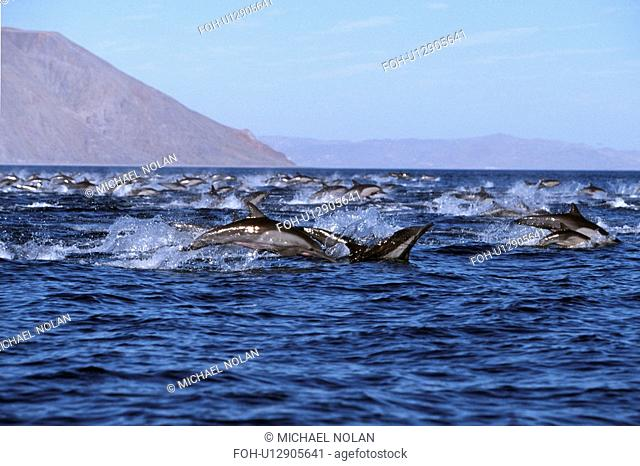 Long-beaked Common Dolphin, Delphinus capensis, pod leaping in Bahia de los Angeles, Baja California, Mexico