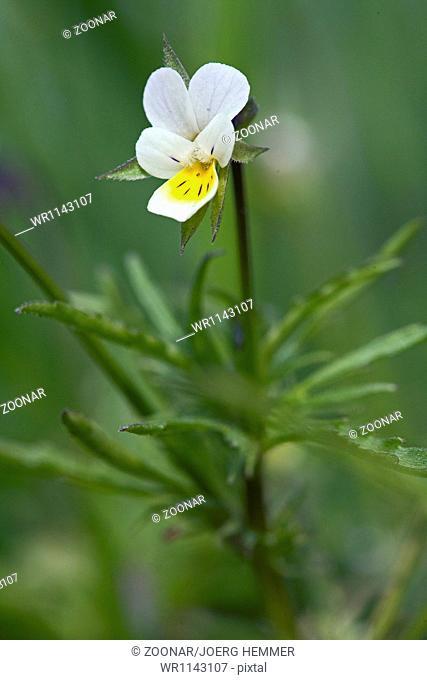 Viola arvensis, Field pansy, Violet