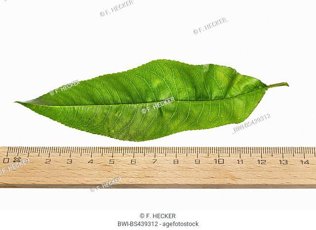 peach (Prunus persica var. persica), peach lef, cutout, with ruler