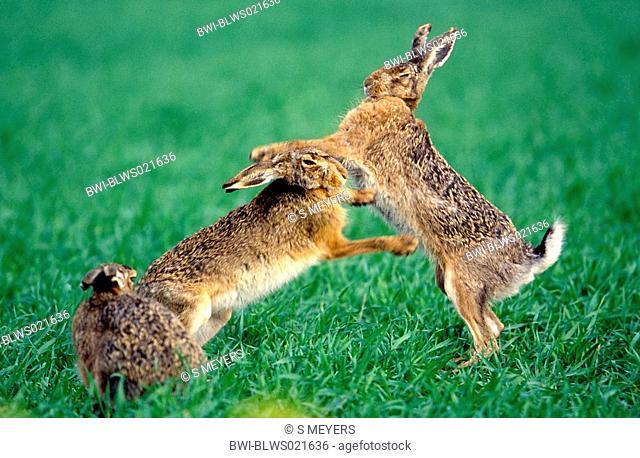European hare Lepus europaeus, shagger and doe boxing, Austria, Burgenland, Neusiedler See, April 03