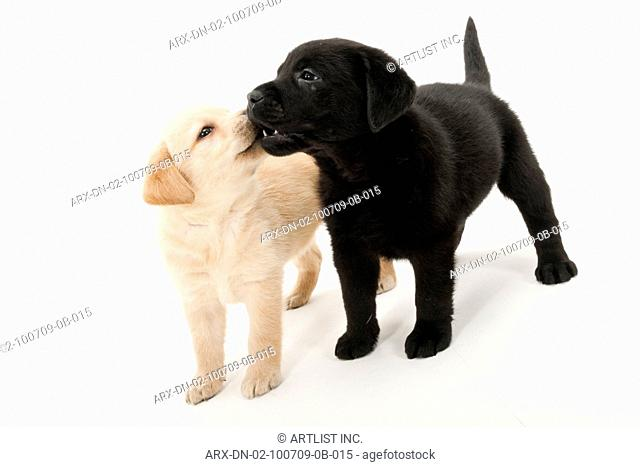 Two kissing puppies