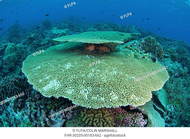 Coral reef habitat, with fish sheltering under table coral, North West Point dive site, Christmas Island, Australia