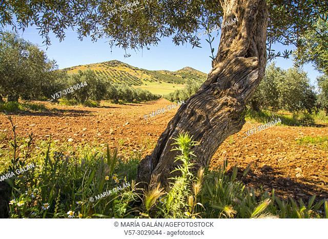 Olive grove. Fuente del Fresno, Ciudad Real province, Castilla La Mancha, Spain