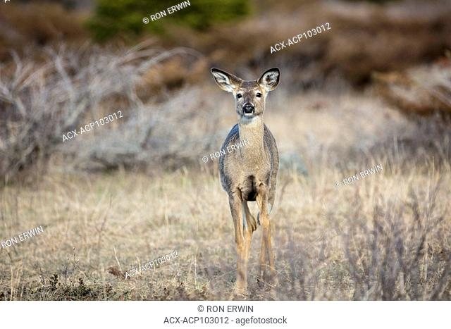 White-tailed Deer (Odocoileus virginianus), Barrie Island, Manitoulin Island, Ontario; Canada