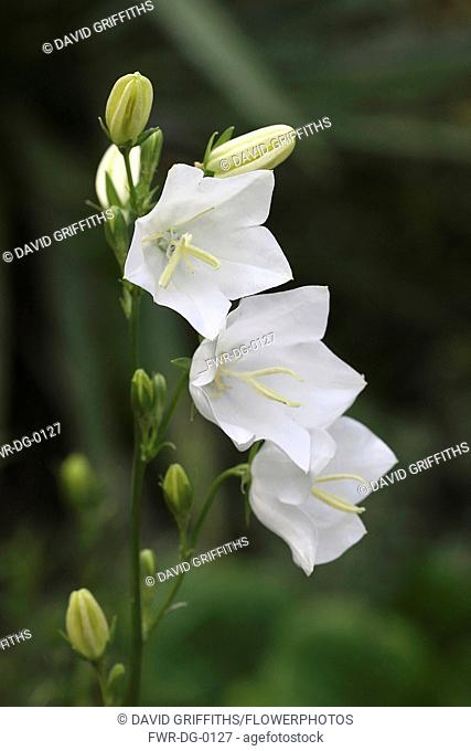 Canterbury Bell, Campanula medium, Close up of 3 open flowers and buds on a single stem