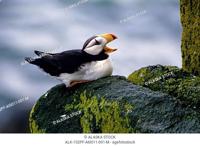 Horned Puffin Round Isl Southwest AK summer portrait