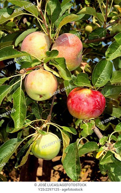 Apple tree, Las Navas de la Concepcion, Seville province, Region of Andalusia, Spain, Europe