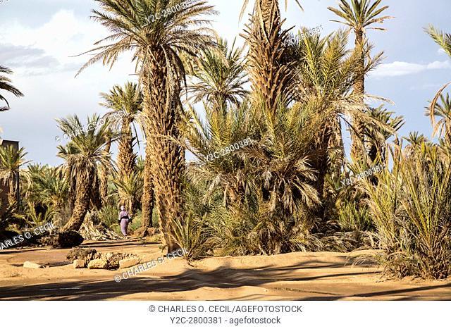 Ksar Elkhorbat, Morocco. Date Palm Trees