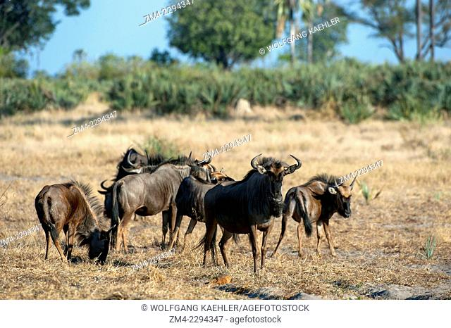 A group of Blue wildebeest (Connochaetes taurinus) in the Chitabe area of the Okavango Delta in northern part of Botswana