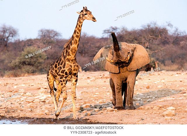 African Elephant (Loxodonta africana) with Southern Giraffe (Giraffa camelopardalis) - Klein Namutoni Waterhole - Etosha National Park, Namibia, Africa