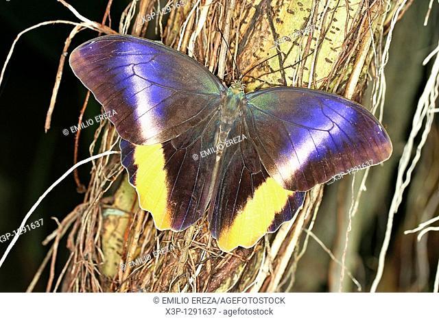 Butterfly Caligo atreus