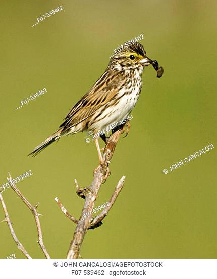 Savannah Sparrow (Passerculus sandwichensis) - New York - Bringing food to nest - Found in a variety of grassy habitats - often in small flocks - widespread...