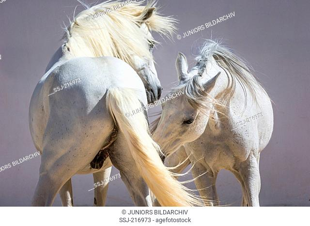 Arabian and Barb Horse. Two gray stallions playfighting. Tunisia
