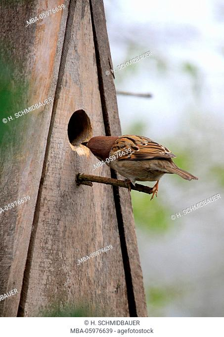 Breeding place searches field sparrow (Passer montanus)