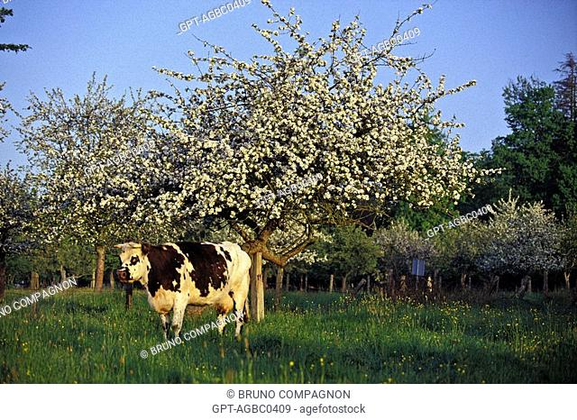 NORMANDY COWS UNDER THE FLOWERING APPLE TREES, EURE 27