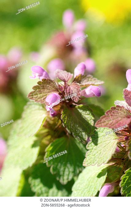 Lamium purpureum, Rote Taubnessel, Red deadnettle