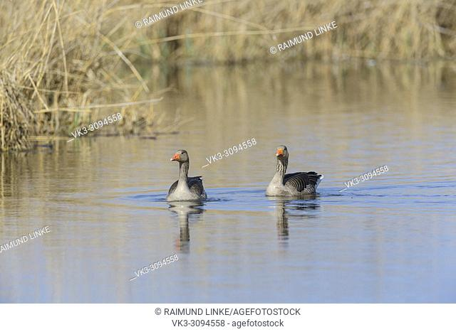Greylag Goose, Anser anser, two geese in water swimming