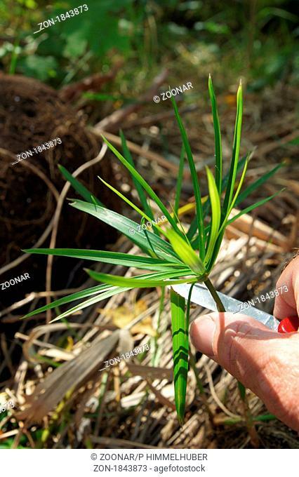 Cyperus alternifolius, Zypergras, umbrella papyrus, Steckling schneiden